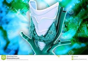 Endocrine Parathyroid Gland Stock Illustration