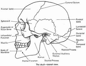 Printable Flashcard On Cranial Bones In Detail  Free Flash