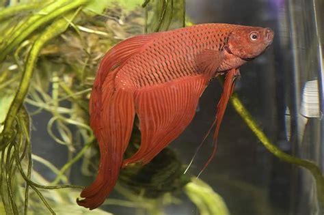 how do beta fish live how long do betta fish live cuteness com