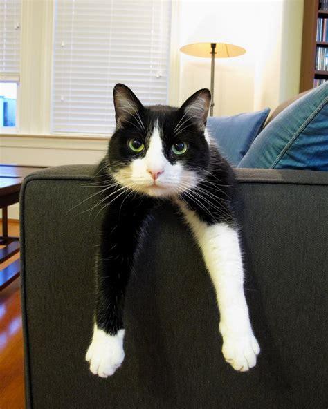 tuxedo cats cute tuxedo cat www imgkid com the image kid has it