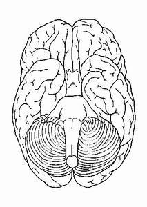 Malvorlage, Gehirn, Unteransicht