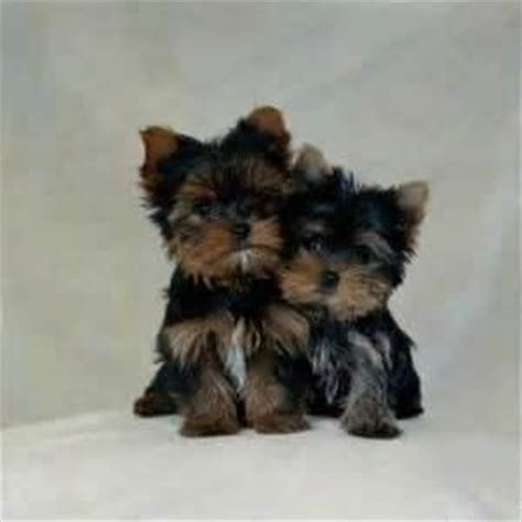do yorkie poos shed i just yorkie poo s they re so animals rule