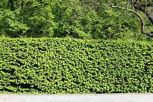 Bewässerungsschlauch Für Hecken : hecken pflanzen f r schatten halbschatten liste mit 20 arten ~ Frokenaadalensverden.com Haus und Dekorationen