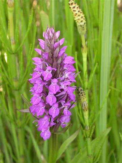 Orchid Marsh Southern Species Community Minsmere Week