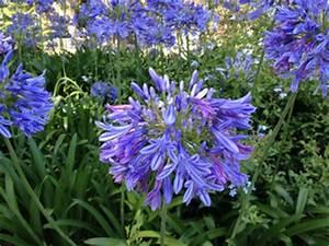Entretien Des Agapanthes : fleurs r sistant au soleil ~ Melissatoandfro.com Idées de Décoration