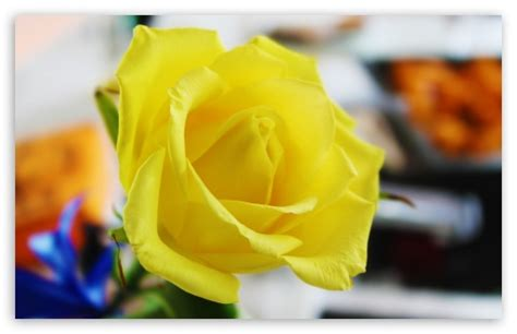 Yellow Rose 4k Hd Desktop Wallpaper For 4k Ultra Hd Tv