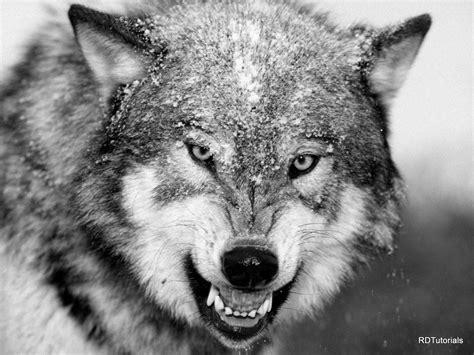 Black And White Wolf Black And White Wolf Pictures
