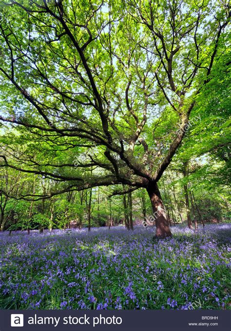 large singled out tree central in a wood carpeted with