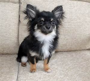 Image Gallery long haired chihuahua uk