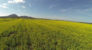 Canola, Fields, Free, Stock, Photo
