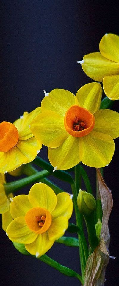daffodils sweet and simple on