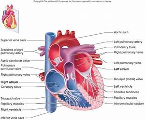 Heart Notes - Anatomy & Physiology 210 with Barlow at ...