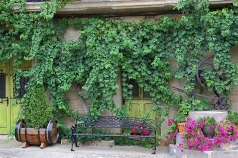 growing vines fast growing vines for urban garden privacy pioneer dad