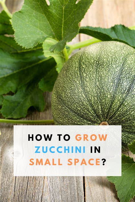 How To Grow Zucchini In Small Space? in 2020 | Growing ...