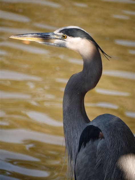 gardensatduke species spotlight great blue heron
