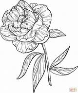 Peony Coloring Printable Supercoloring Colorings Categories sketch template