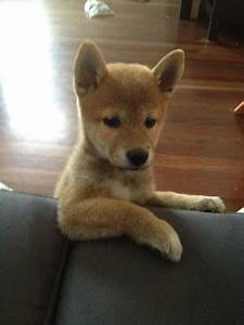 Awesome, Shiba, Inu, Puppy, Pictures