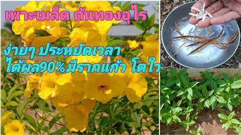 เพาะเมล็ด ดอกทองอุไร ง่ายๆได้ผลกว่าปักชำและตอนกิ่งครับ ...