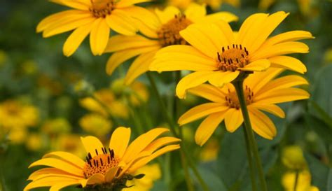Saulesactiņas (Heliopsis Pers.)