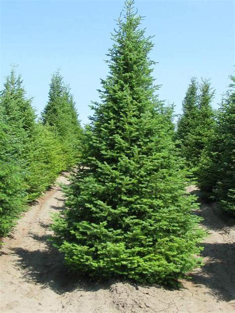 best fragrant christmas tree 10 tips for choosing a tree news seacoastonline portsmouth nh