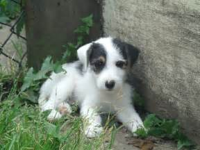 Parson Jack Russell Terrier Puppies