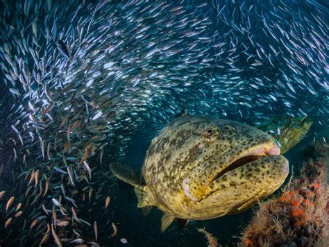grouper giant goliath orlando sea atlantic dan ikan kerapu water found ticket shallow lak ai flatland fish biggest gergasi kenali