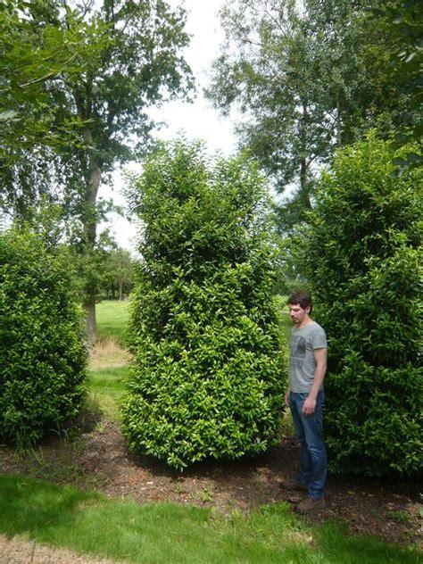 kirschlorbeer im herbst pflanzen 11 prunus lusitanica angustifolia portugiesischer kirschlorbeer 300 350 cm neue