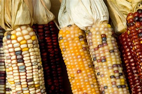 Overcoming drought-intolerance in maize to feed the ...