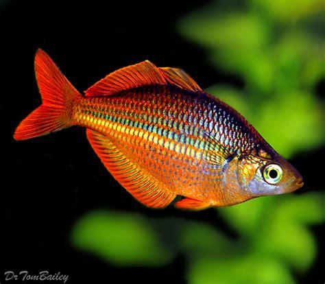premium trifasciata rainbowfish    long