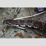 Juvenile Eastern Milk Snake | 500 x 334 jpeg 148kB