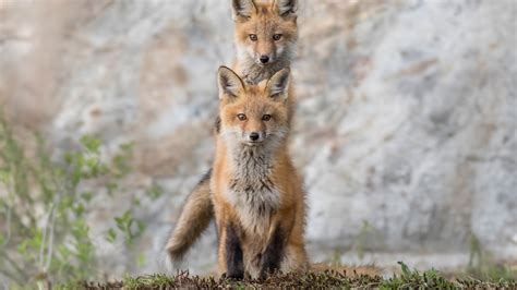 Two Foxes Are On Green Grass In A Blur Background HD