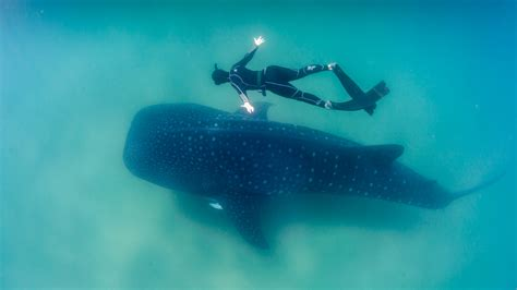 Dive With Whale Sharks Diving With Mantas And Whale Sharks In The Maldives Dive