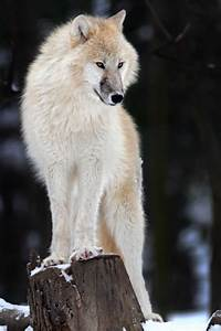 Polarwolf by Helmut Lager** | WILD LIFE | Pinterest | Cute ...