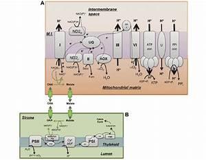 Schematic Representation Of Oxidative Phosphorylation
