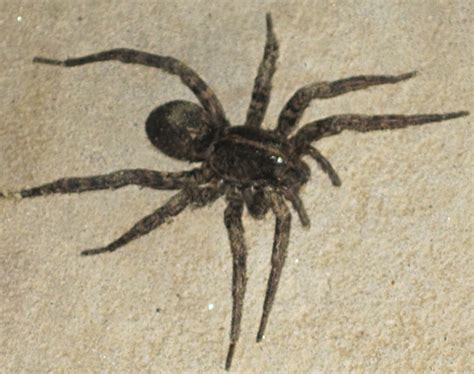 are wolf spiders dangerous carolina wolf spider we believe what s that bug