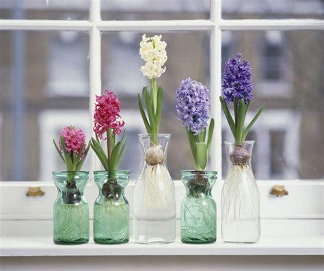 grow hyacinth flowers indoors