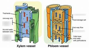 Wiring And Diagram  Diagram Of Xylem And Phloem Tissue