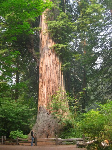 Happy Anniversary To Our State Tree  Save The Redwoods League. Home Sales Agreement Template. Acca Manual J Spreadsheet. Salary Statement Letter Format Template. Science Project Display Board Template. Free Fishbone Diagram Template. Capacity Planning Template. The Shadow Of The Almighty Ministries Template. Sentence For Wedding Card Template
