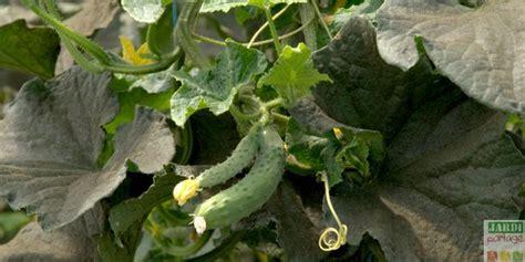 comment cuisiner les concombres culture du concombre du semis à la récolte jardipartage