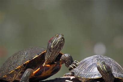 Turtle Animals Turtles Desktop Wallpapers