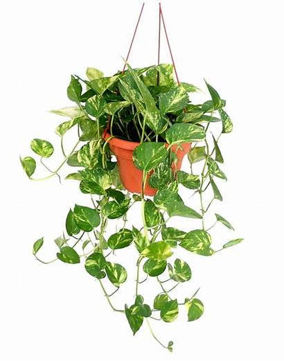 Plant Money Hanging Variegated Support Coco Pole