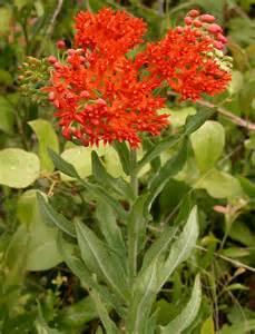 Butterfly Milkweed Plant