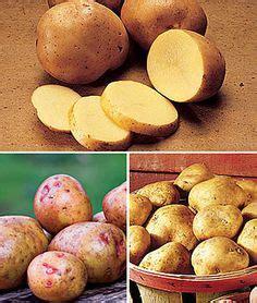 boiling yukon gold potatoes how best yukon gold or white boiling potatoes recipe on pinterest