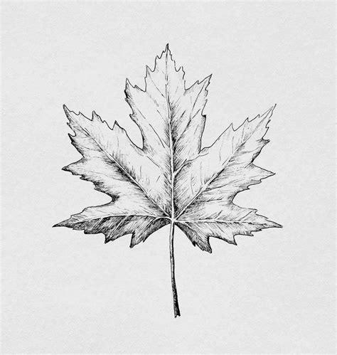 image result  maple leaf scientific illustration art