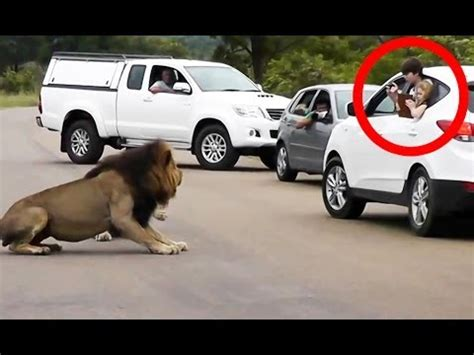 lion car lion shows tourists why you must stay inside your car
