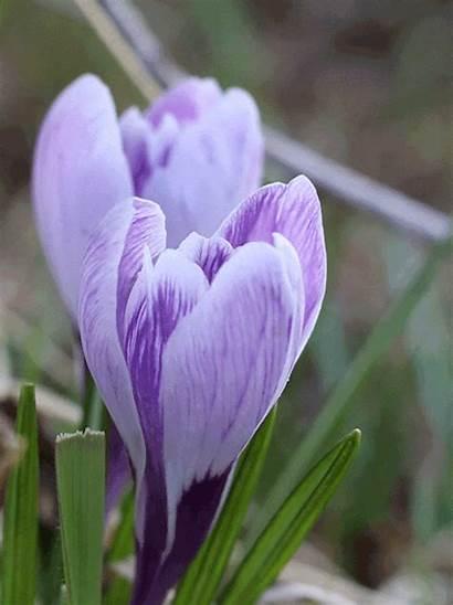 Crocus Flower Gifs Earth