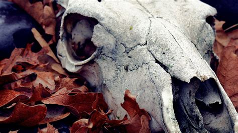 Animal Skull Wallpaper - skull wallpaper autumn seasons originals animal 1372969