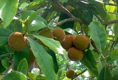 hortikultura  buah jarang dijumpai dipasaran