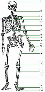 Baird Sermons  Human Skeleton Diagram