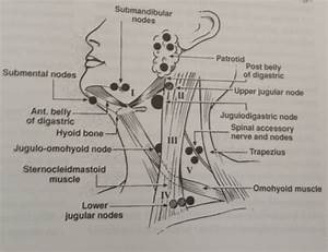 Anatomy Of Neck And Regional Lymph Nodes